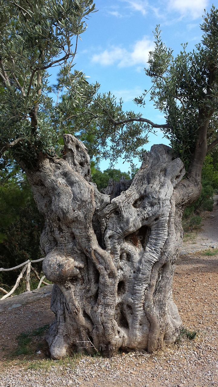 olives, olive tree, nature